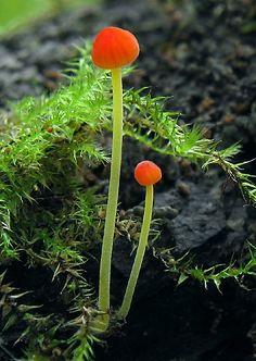 mushrooms. tiny. orange. | RP »  **Mycena acicula