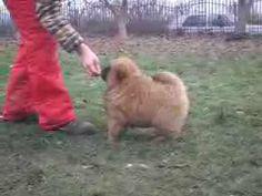 http://img.youtube.com/vi/IpOTU2-mTIs/0.jpg Chow-chow štene - http://pseci.net/oglas/chow-chow-stene