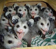 A possum or opossum is one of the cutest and funniest animals. Check out these cute videos and funny opossum videos. Baby Animals Pictures, Funny Animal Pictures, Cute Baby Animals, Animals And Pets, Funny Animals, Beautiful Creatures, Animals Beautiful, Baby Opossum, Tier Fotos