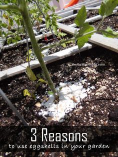 3 Fabulous Reasons to Use Egg Shells in the Garden! Eggshells for pest control, calcium enricher, soil enricher and more with tips and how to do these!