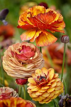colors Ranunculus in beautiful fall colors.Ranunculus in beautiful fall colors. My Flower, Beautiful Flowers, Cactus Flower, Exotic Flowers, Orange Flowers, Yellow Roses, Fresh Flowers, Pink Roses, Fleur Orange
