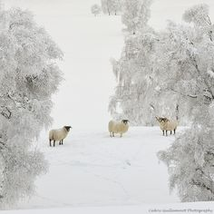 Sheep in the snow. Visit the Highlands of Scotland for a winter wonderland holiday close to home. Perfect for a UK winter break! Winter Szenen, I Love Winter, Winter Magic, Winter Time, Winter Christmas, Magic Snow, Merry Christmas, Hirsch Illustration, I Love Snow