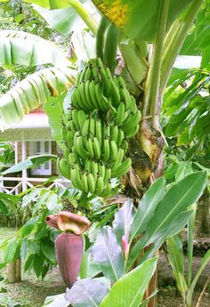 Eat a yellow banana when it is yellow on the tree, not picked green and turns yellow Exotic Fruit, Tropical Fruits, Tropical Plants, Fruit And Veg, Fresh Fruit, Fruits And Veggies, Tropical Landscaping, Tropical Garden, Fruit Trees