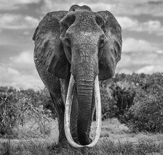 Rare tusker elephant