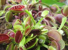 Carnivorous plants:  Venus flytraps (Dionaea muscipula), sundews (Drosera capensis), and pitcher plants (Sarracenia genus) are all carnivorous plants that need a terrarium to achieve their preferred growing environment. Carnivores prefer bright light and access to food so an open-mouthed glass container is best. Most carnivores are bog plants and require moist and humid conditions. When well-fed and well cared for, carnivorous plants can bloom.