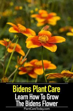 The Bidens Plant, The Common Name Of Flowering Plants, Perennial And Annuals, Grow Naturally Throughout The Southern United States Details Growing Flowers, Planting Flowers, Flowering Plants, Flower Gardening, Flowers Garden, Spring Flowers, Hydroponic Gardening, Gardening Tips, Balcony Gardening