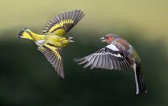 Sijs en Vink  (Van vroegevogels)