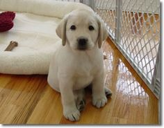 Forestwood Labradors - Dogs We Have Bred
