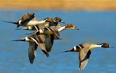 Many years ago, a wealthy man went duck hunting with a hired hand named Sam. Waterfowl Hunting, Duck Hunting, Most Beautiful Animals, Beautiful Birds, Duck Species, Duck Art, Duck Duck, Duck Pictures, Colorado