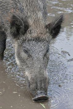 Wild zwijn of Everzwijn (Sus scrofa) Dierenrijk, Nuenen, The Netherlands Conservation status: Least concern Hog Trap, Pig Hunting, Exotic Pets, Exotic Animals, Wild Boar, Photos Du, Livestock, Country Girls, Animal Photography