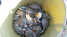 Nueva mirada al mar: Cangrejo azul - jaiba azul