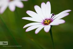 african daisy II by emilyblox #nature