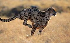 Mauro Ricci: Come il ghepardo
