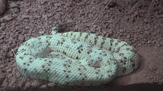 Padre e hijo consiguieron la cola de una serpiente cascabel. Mira lo que ocurre cuando la abren