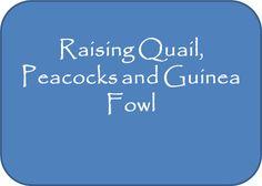Raising Quail, Peacocks and Guinea Fowl