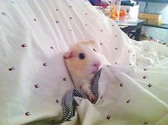 Silly Guinea Pig going to bed, super kawaii :3