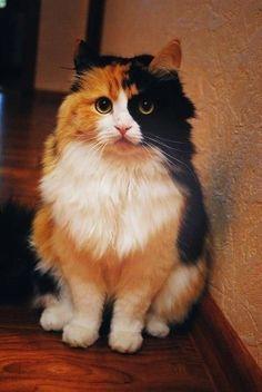 Beautiful long hair calico cat