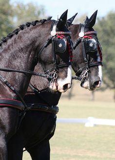 dutch harness horses