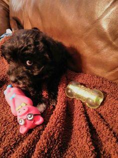 A rubber pig? 9 weeks old Urza half Border collie / half Poodle puppy