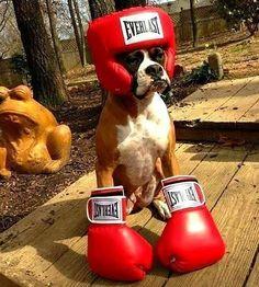 Lustige Halloween Kostüme für Hunde oder Katzen: A Boxer that boxes.