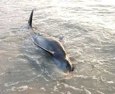 Expert now says half of Keys dolphins could be at mortal risk with morbillivirus outbreak