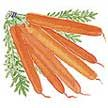 Carrot : Danvers Half Long - A favorite main crop variety, highly adaptable, productive, great flavor