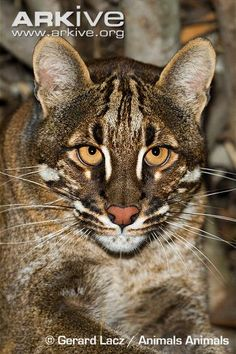 Asiatic golden cat - Primarily found in forests, the Asiatic golden cat prefers to live in forest away from human disturbance.
