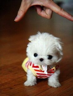 Tiny Dog - yorksire terrier (white)