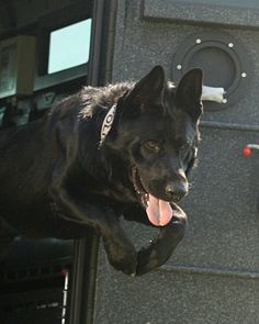 We train K9 officers as well!  This is Kilo jumping out of the BearCat Armored Vehicle!
