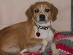 GILBERT is an adoptable Beagle Dog in Pittsburgh, PA. ADOPT GILBERT! Why I am at the shelter: My previous owner aren't home enough to care for me. About me: My name is Gilbert! I love to sniff & follo...