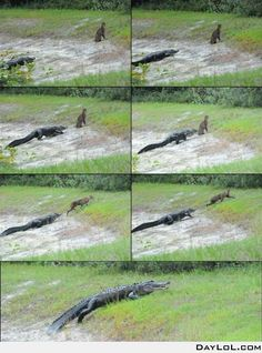 One lucky lynx and one unlucky alligator.  LOL, alligators are not the sharpest tools in the shed, but he tried :-)