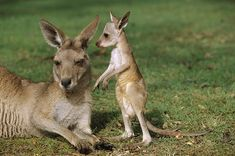 baby Kangaroo - HD Tiger | hd wallpapers | mobile wallpaper | best images and photos