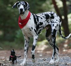 i want this great dane
