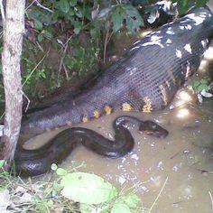 Looks like the anaconda ate a crocodile or something. Makes it look like a croc with a snake head.