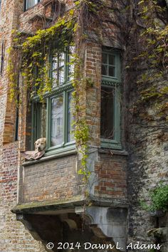 Dog Fidel, who even starred in the New York Times!, resting in the window of house along canal in Bruges Belgium