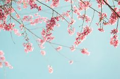 500px / Cherry Blossom by Duy Tran