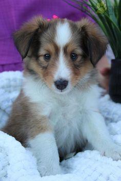 #ShetlandSheepDog #Charming #PinterestPuppies #PuppiesOfPinterest #Puppy #Puppies #Pups #Pup #Funloving #Sweet #PuppyLove #Cute #Cuddly #Adorable #ForTheLoveOfADog #MansBestFriend #Animals #Dog #Pet #Pets #ChildrenFriendly #PuppyandChildren #ChildandPuppy #LancasterPuppies www.LancasterPuppies.com Puppies For Sale, Dogs And Puppies, Sheep Dog Puppy, Shetland Sheepdog Puppies, Lancaster Puppies, Animals Dog, Sheltie, Rottweiler, Mans Best Friend