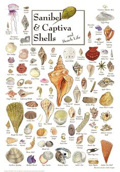 """Sanibel & Captiva Shells & Beach Life PosterItem #:esw-SSPT-123$185.00  The finished, framed piece is 26.5"""" wide x 34"""" high. The print is 19"""" wide x 27"""" high. Shell Beach, Seashell Crafts, Beach Crafts, Seashell Art, Seashell Tattoos, Starfish, Sea Life Art, Ocean Life, Foto Poster"""