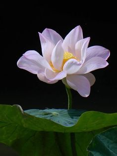 * Most Beautiful Flowers, Rare Flowers, Flowers Nature, Exotic Flowers, Pretty Flowers, Lotus Painting, Lotus Art, Easy Meditation, Flower Art