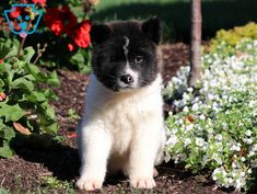 Ruby | Akita Puppy For Sale | Keystone Puppies Akita Puppies For Sale, Design Development, Baby Dolls, Husky, Dogs, Animals, Animales, Animaux, Pet Dogs