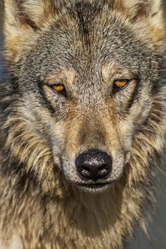 The world of wolves : Photo