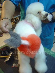 I would like to try this someday Charlie! creative dog grooming school in Thailand Dog Grooming Styles, Poodle Grooming, Cat Grooming, I Love Dogs, Cute Dogs, Cute Puppies, Extreme Pets, Dog Dye, Creative Grooming