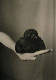 Robert Langham • Fledgling American Crow on Hand