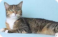 Blackwood, NJ - Domestic Shorthair. Meet Poncho, a cat for adoption. http://www.adoptapet.com/pet/16859426-blackwood-new-jersey-cat