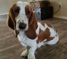 My beautiful basset hound puppy Penny