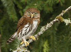 Northern Pygmy Owl (Glaucidium californicum)