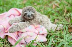 The second mission is to collaborate with other institutes that work with sloths around the world.