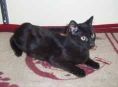 This is Nick...he and his sister, Holly, are inseparable and MUST be adopted together.  Isn't he such a handsome boy?  :)