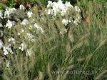 Pennisetum alopecuroides 'Hameln' 1 lit. - eshop