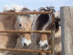 Norwegian Fjord horses.
